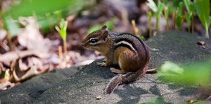 One of my chipmunks