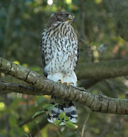 Fledgling Hawk in Tree