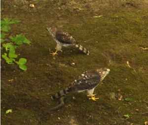 Two Young Hawks in My Yard