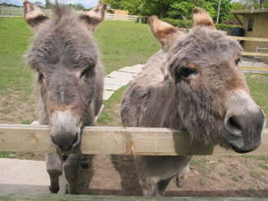 A Perfect Pair Of Donkeys