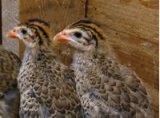 Guinea Hen Chicks