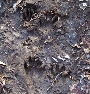 Raccoon Footprints in the Mud