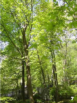 Trees Unfurling Their Leaves