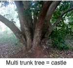 Multi Trunk Tree