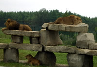 Lions doing their thing