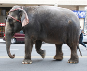 Elephant On Stree