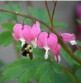 Bee In Bleeding Hearts