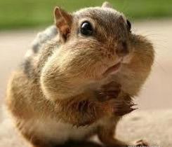 Stuffed Chipmunk Cheeks